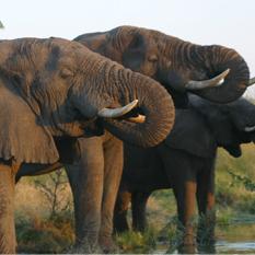 Ulusaba-Safari-Lodge-elephants